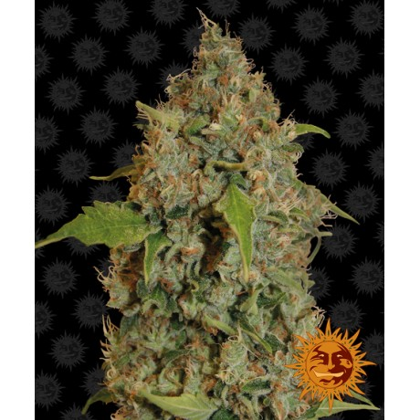 copy of Barney's Farm 8 Ball Kush Feminizada