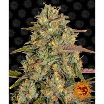 Barney's Farm Amnesia Lemon...