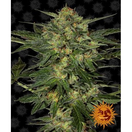 Barney's Farm LSD Feminizada