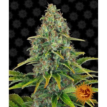 Barney's Farm Blue Cheese...