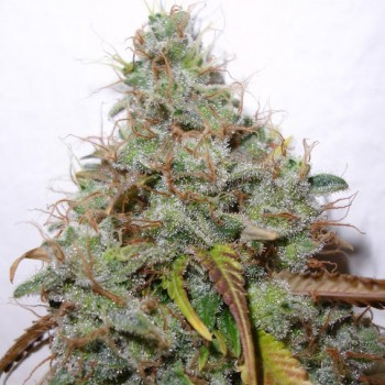 Paradise Seeds White Berry...