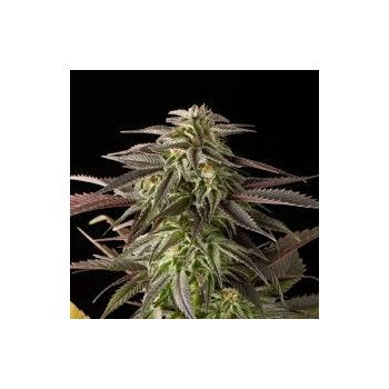 Dinafem Blue Cheese Feminizada