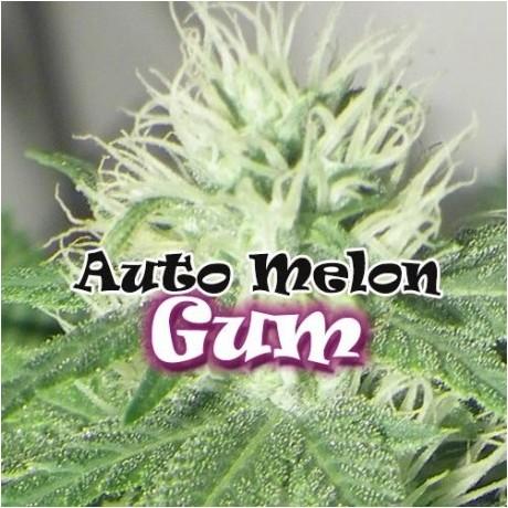 Dr. Underground Melon Gum Auto Feminizada