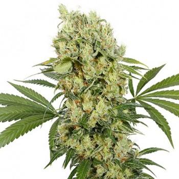 Buddha Seeds Medikit CBD...