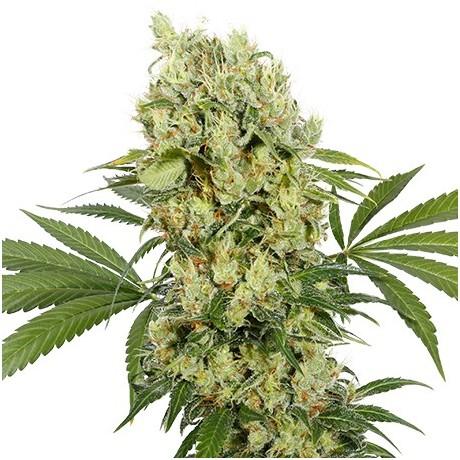 Buddha Seeds Medikit CBD Feminizada