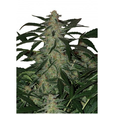 copy of Buddha Seeds Medikit CBD Feminizada