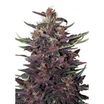Buddha Seeds Purple Kush...