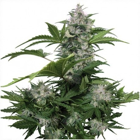 copy of Buddha Seeds Medikit CBD Feminizada
