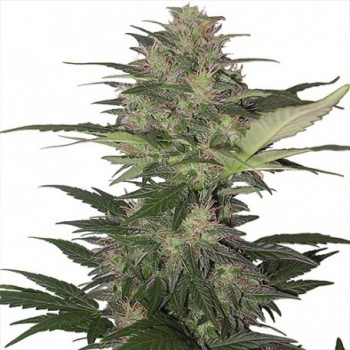 Buddha Seeds Red Dwarf Auto...