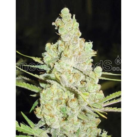 copy of Medical Seeds Y Griega Feminizada