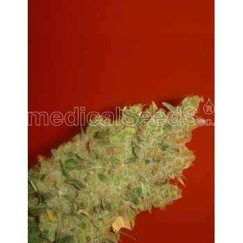 Medical Seeds Jack la Mota...