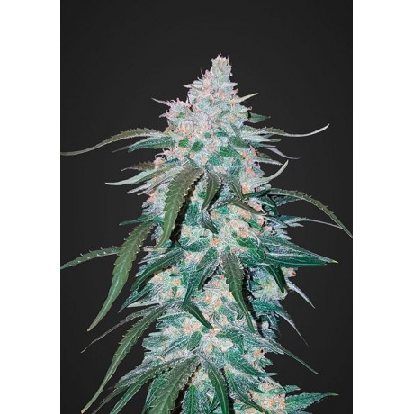 copy of Fast Bud Girl Scout Cookies Auto Feminizada