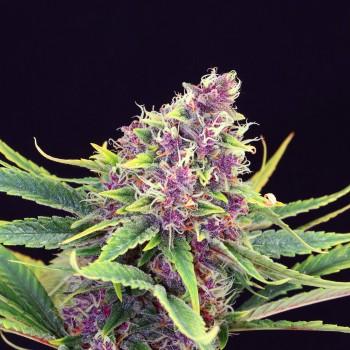 Kannabia Purple Kush...