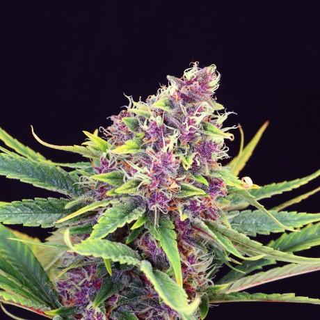 Kannabia Purple Kush Feminizada Unidad