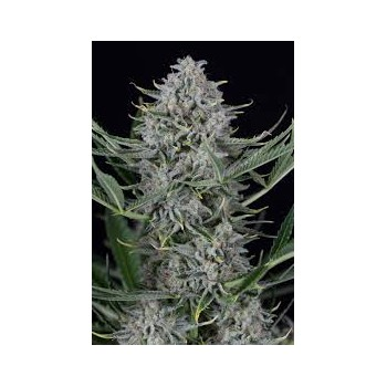 copy of Dinafem Cheese Auto