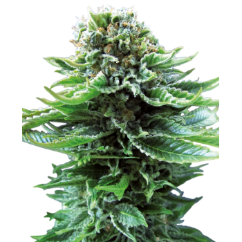 Sensi Seeds Northern Light...