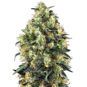 Sensi Seeds Super Skunk...