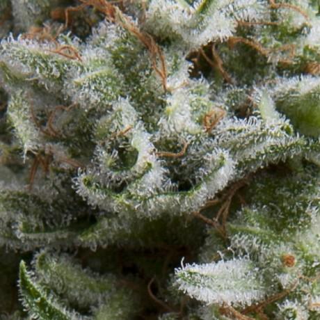 Pyramid Seeds Auto Anesthesia Auto Feminizada