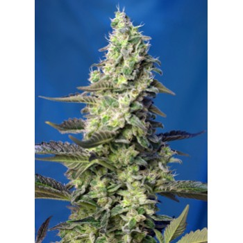 Sweet Seeds Green Poison XL...