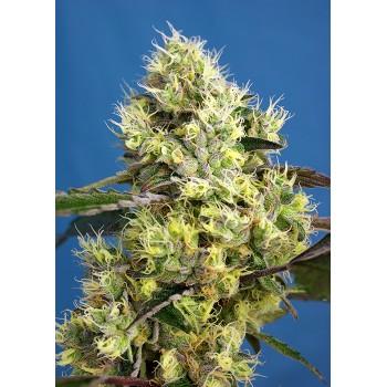Sweet Seeds Gelato Auto...