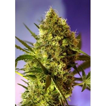 Sweet Seeds Big Devil 2...