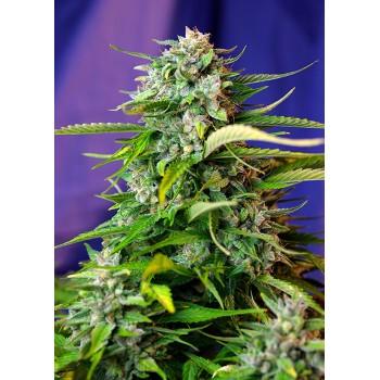 Sweet Seeds Jack 47 XL Auto...
