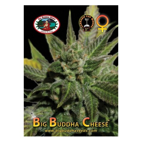 Big Buddha Seeds Cheese Feminizada