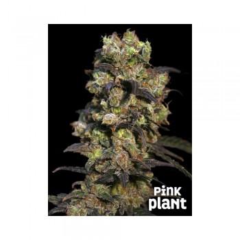 Eva Seeds Pink Plant...