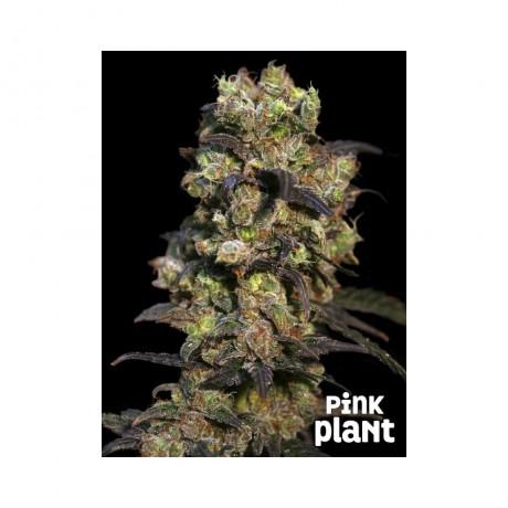 Eva Seeds Pink Plant Feminizada
