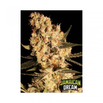 Eva Seeds Jamaican Dream...