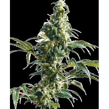 Sensi Seeds Mexican Sativa...