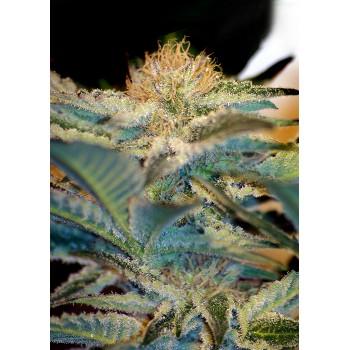 copy of Sweet Seeds Sweet...