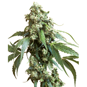 copy of Sensi Seeds Skunk1...