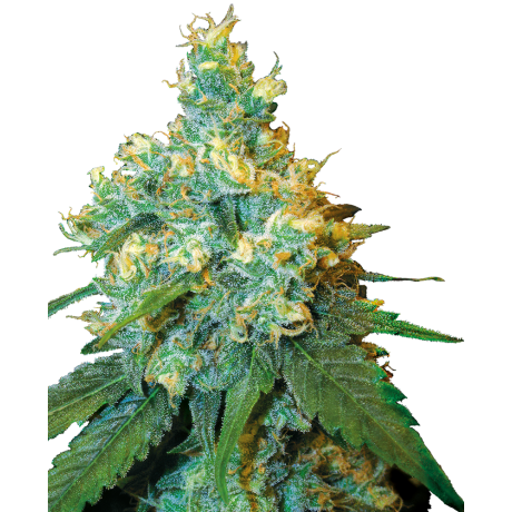 copy of Sensi Seeds Skunk1 Feminizada