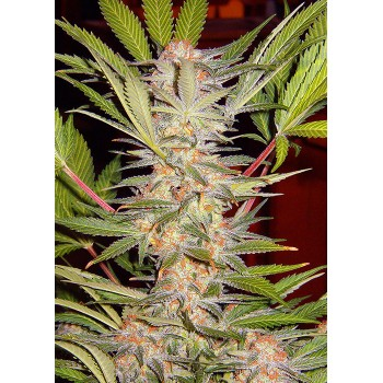 Sweet Seeds S.A.D. F1 Fast...
