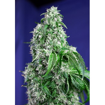 Sweet Seeds Big Devil F1...