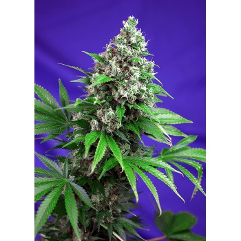 Sweet Seeds Killer Kush F1...
