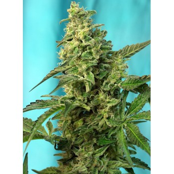 Sweet Seeds Green Poison F1...