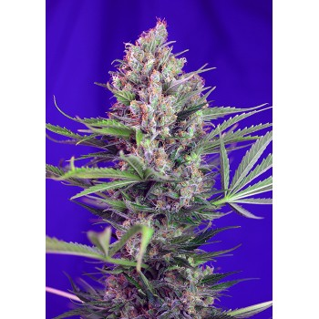 Sweet Seeds Cream Mandarine...