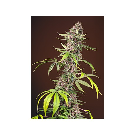 copy of Sweet Seeds Sweet Cheese Feminizada