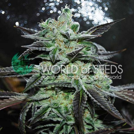 WOS Strawberry Blue Feminizada
