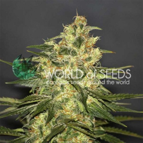 copy of WOS Strawberry Blue Feminizada