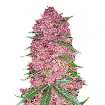 Fast Bud Purple Lemonade...