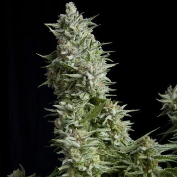 Pyramid Seeds Alpujarreña...