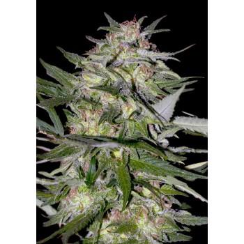 Advanced Seeds Jack Plant...