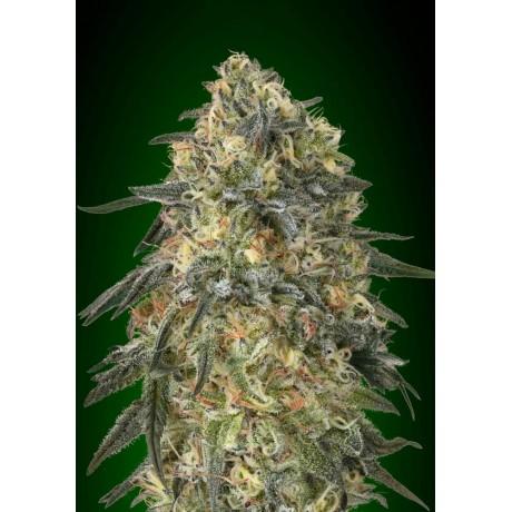 copy of Expert Seeds Gorilla Glue 4