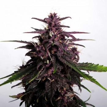 copy of Kannabia Purple...
